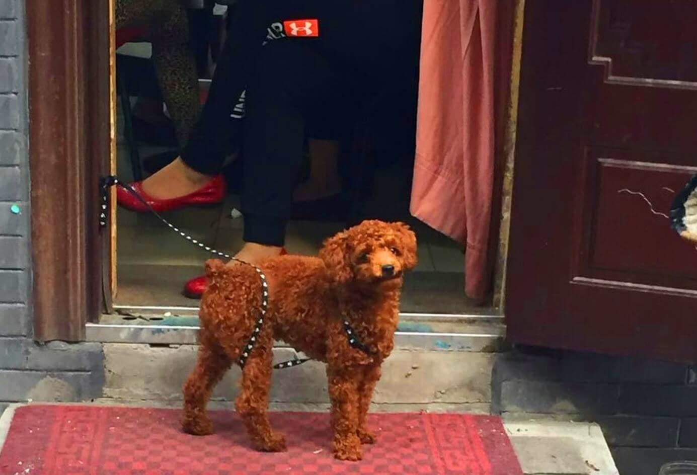 Poodle in Beijing